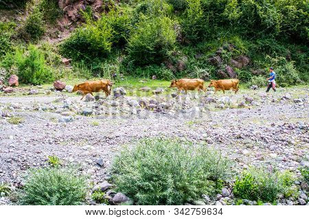 Malqene, Albania - July 27, 2014. Herdsman Passing By Black Drin River With Brown Cows