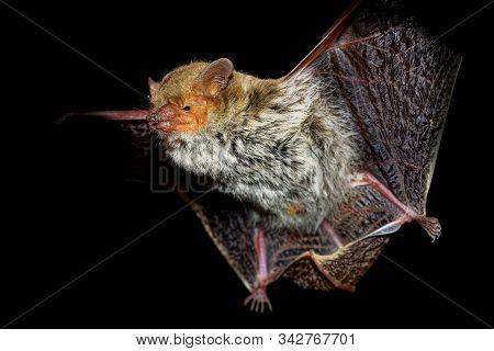 Egyptian (kuhl) Pipistrelle - Pipistrellus Deserti Or Kuhlii In The Dark Night With Black Background