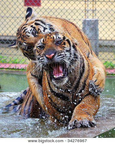 Love bite tiger style