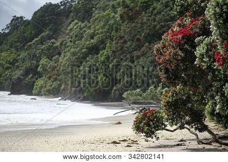 Pohutukawa Tree On Beach, Otarawairere Bay, New Zealand