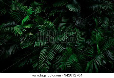 Fern Leaves On Dark Background In Jungle. Dense Dark Green Fern Leaves In Garden At Night. Nature Ab