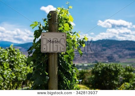 Merlot Wine Grape Variety Sign On Wooden Vertical End Post, Canadian Vineyard Field Background, Okan
