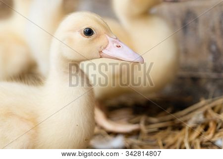 Group Of Yellow Lovely Ducklings In A Farm.baby Ducks Are Called Ducklings And A Group Of Ducklings
