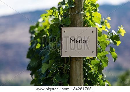 Merlot Wine Grape Variety Sign On Wooden Pole Selective Focus, Canadian Vineyard Varieties Signs, Ok