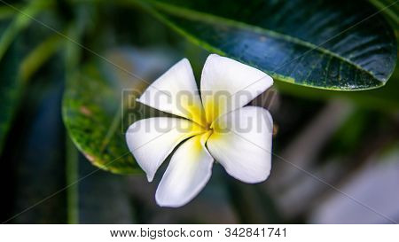 A Yellow White Flower (frangipani, Plumeria) On A Tree During A Sunny Day With Natural Background.