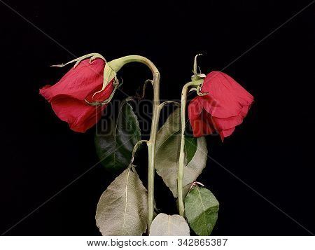 A Pair Of Withered Red Roses On A Black Background. Two Wilted Roses In A Bouquet Of Flowers. Concep