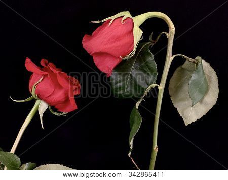 A Pair Of Blooming Red Roses On A Black Background. Two Roses Stretch To Each Other. Concept: Love,