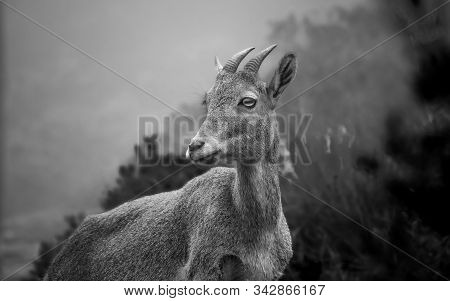 Black And White Portrait Of Ibex On Nilgiri Hills Of South India