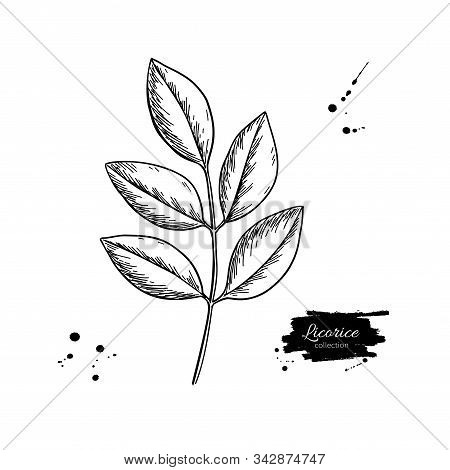 Licorice Plant Branch Vector Drawing. Botanical Leaves Illustration.