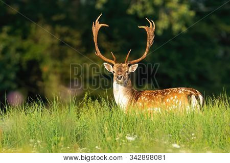 Massive Fallow Deer Stag With Antlers And Spots On A Green Meadow In Summer