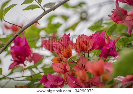 Bougainvillea Is A Genus Of Thorny Ornamental Vines, Bushes, Or Trees. The Inflorescence Consists Of