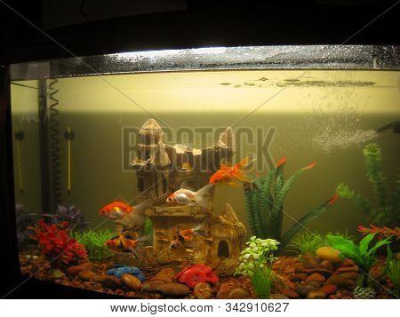 Several Aquarium Goldfish Of Different Coloring Swim In A Large Aquarium