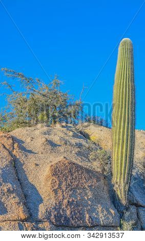 Saguaro Cactus (Carnegiea Gigantea) at the Tonto National Forest in the Sonoran Desert. Maricopa County, Arizona USA poster