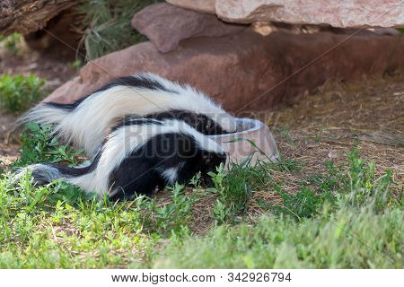 Two Black And White Skunks Eat Out Of A Dog Bowl Thats In The Shade By Large Rocks And A Log.