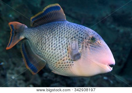 Yellowmargin Triggerfish (pseudobalistes Flavimarginatus)  In Sea Water