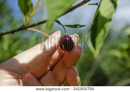 Picking Cherries From A Tree In Summer In The Garden. Cerasus