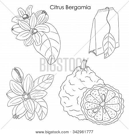 Herbs, Spices And Seasonings Collection. Vector Hand Drawn Illustration Of Citrus Bergamia, Flowers