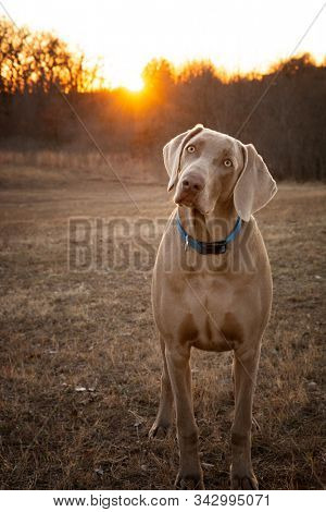 Young Weimaraner dog looking at the viewer with a tilted head, with sunset on the background
