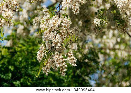 White Acacia Flower Closeup (robinia Pseudoacacia). Acacia Tree Bloom