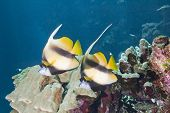 Pair of tropical moorish idol fish on a coral reef poster