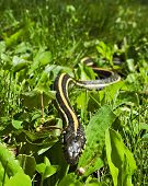 Garter snake slithering through the grass shot from a low angle poster