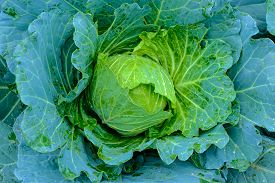 Orgarnic Cabbage Head With Green Leaf Raw Food Ingridient