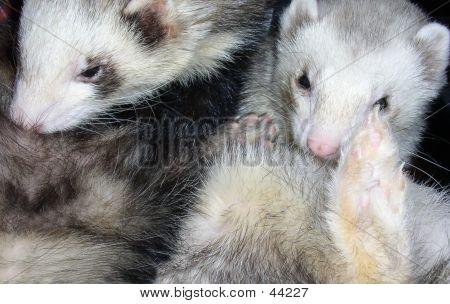 Ferrets Grooming