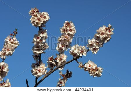 Blossoming peach trees