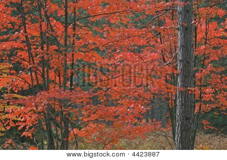Autumn Maples And Pine