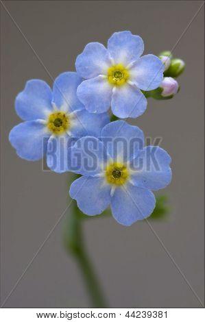 Macro  Of A Blue Yellow Anagallis Foemina