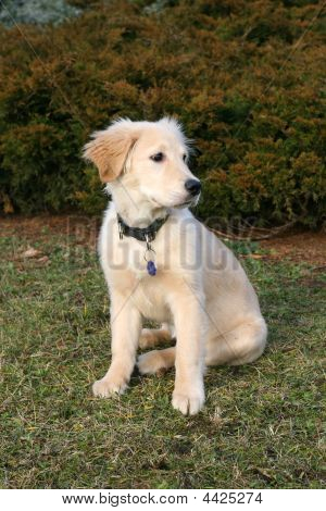 poster of puppy of golden retriever outside on the grass
