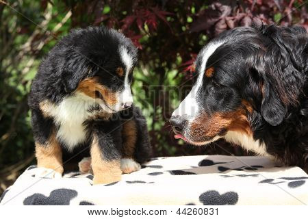 Bernese Mountain Dog Bitch Checking Out Its Puppy