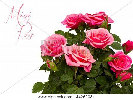 Pink Mini Rose Isolated With Copy Space