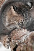 Bobcat (Lynx rufus) Sniffs and Claws at Branch - captive animal poster