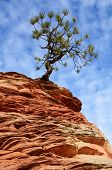 Pine (Pinyon) Tree Growing atop a Sandstone Formation in Zion National Park poster