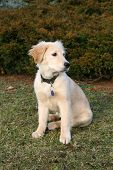 puppy of golden retriever outside on the grass poster