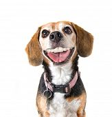 a cute beagle with a big grin looking at the camera poster