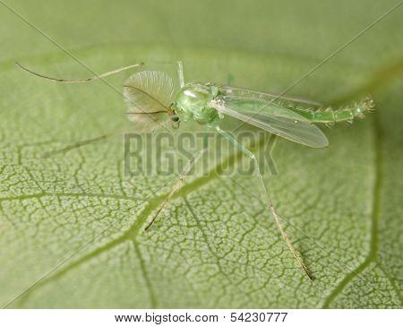Green Midge on a Green Leaf