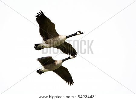 Canada Geese In Flight, Migration