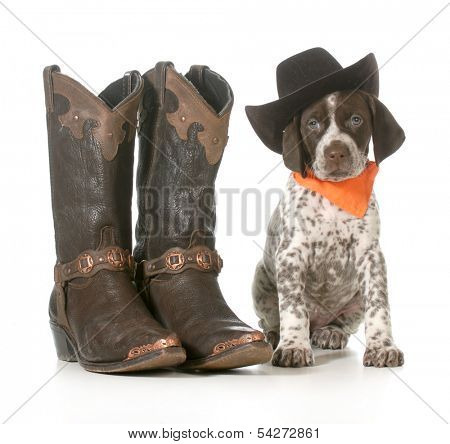 country dog - german shorthaired pointer wearing western hat sitting beside western boots isolated on white background - 7 weeks old poster