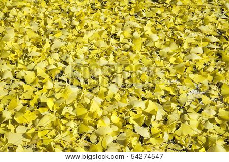 Gingko leaves background