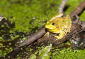 A bullfrog sits at the edge of a pond on a summer evening poster