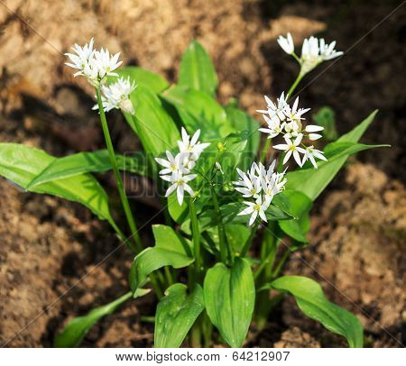 Wild garlic, Allium ursinum