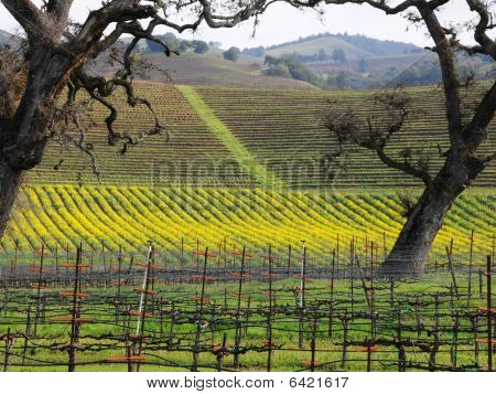 Sonoma Vineyard with Winter Mustard Plants