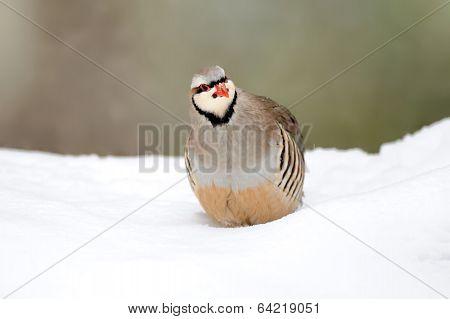 Partridge In Winter
