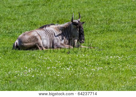brindled wildebeest laying down enjoying the sunshine on green grass poster