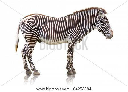 Side view of a Zebra isolated on white
