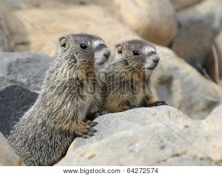 A pair of Juvenile Yellow-bellied Marmots in Eastern Washington poster