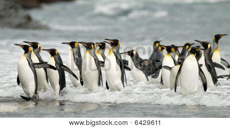 King Pinguinen in der Brandung