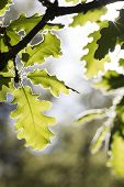 Young oak leaves in the morning sun poster